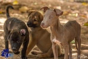 Zwerfhonden en puppies knuffelen bij CARF Curaçao