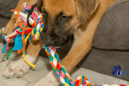 Dit weekend op Curaçao: CARF Puppy Meet & Greet