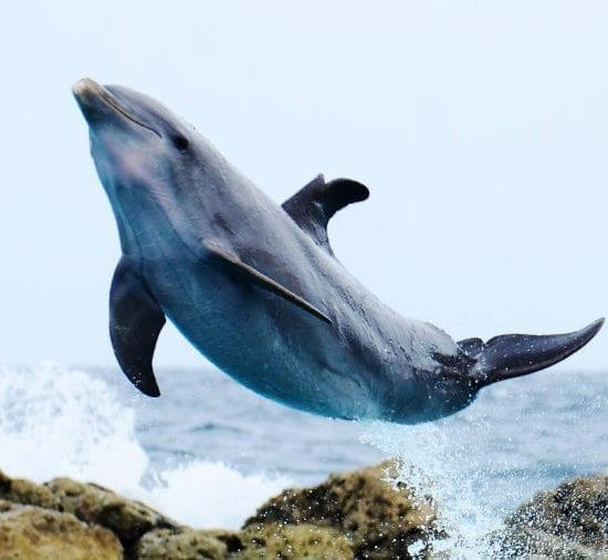 springende dolfijn curacao Pasku